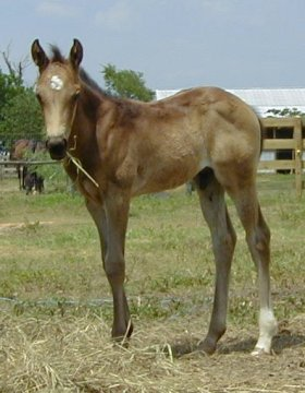 Country Buckaroo -1 month, Buckskin Registry