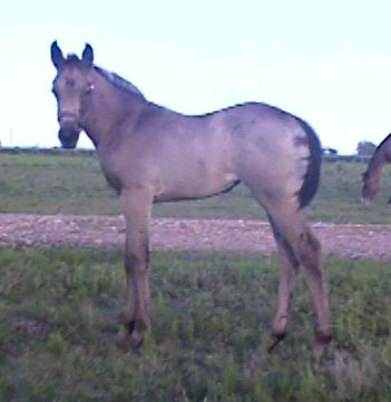 Buckskin filly,-2 months, Out of Surprisetexasgoldy
