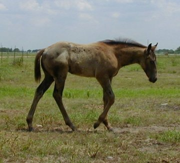 appy filly, Out of Surprisetexasgoldy