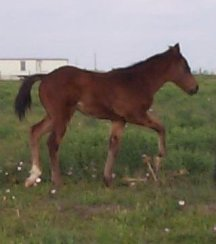 QH colt, Country Valentino-2 months, Out of Johnnie Holland