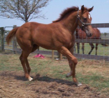 QH filly, Secretariat Moon, Out of Moonlighting Madam