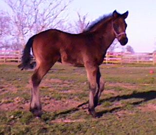 TB colt, Mellennium Mel-1 month, Out of Gallant Miss