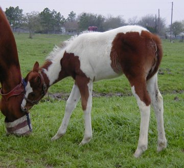 filly- 1 month, out of Thanx Mr Bee