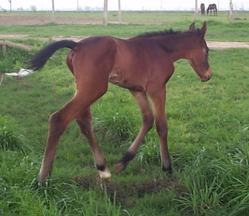 TB colt, -1 day, Out of Cactus Song