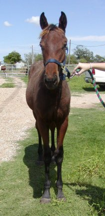 TB gelding, Out of Cactus Song