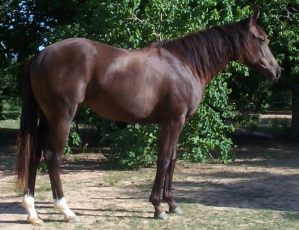 QH filly, JDs Gone Country-12 months, Out of Johnnie Holland