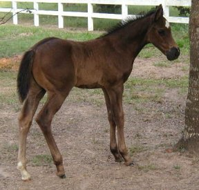 QH colt - out of Directors Babe