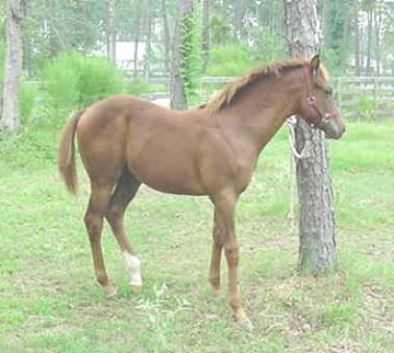 QH filly, -Out of Crimson Jam