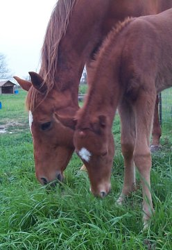 QH filly, -1 day, Out of Rammers Rose