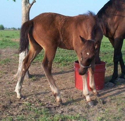 TB colt, Out of Top My Sugar