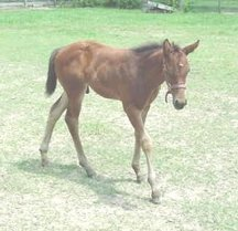 QH colt, -Out of Toppers Gracefulady