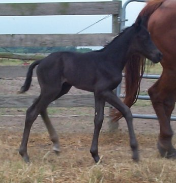 QH filly, -1 day, Out of Moonlighting Madam