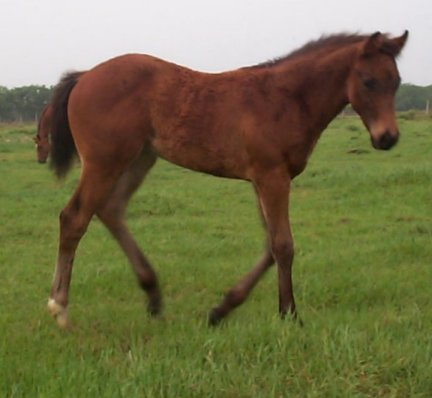 QH colt, Country Nobleman, out of Rammers Rose