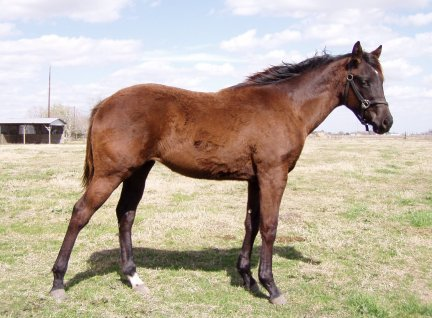 Black QH filly, -10 months