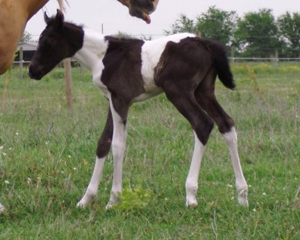 Two Secret Miss, Pt filly, -1 day, Out of Golden Scoter
