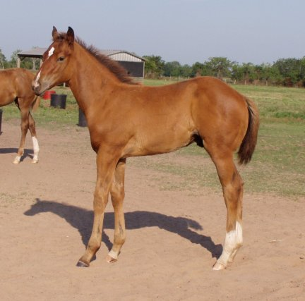 QH colt, Special Secret Dos, out of LS Home Free