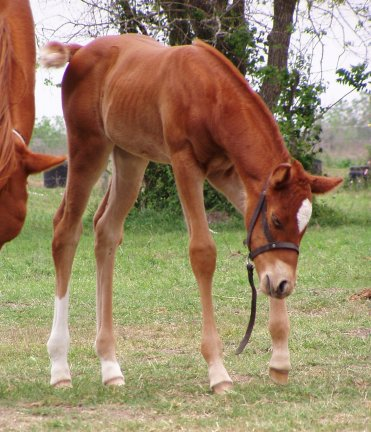 QH filly, Racing Regal, out of Ramroc Rose