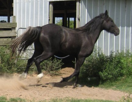 Zeus- 2yo, Out of Shannashawns Lady Willow