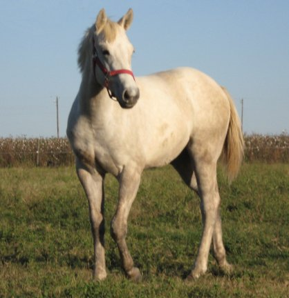 QH filly, Miss Lemon Meringue, out of Bostina Cream Pie