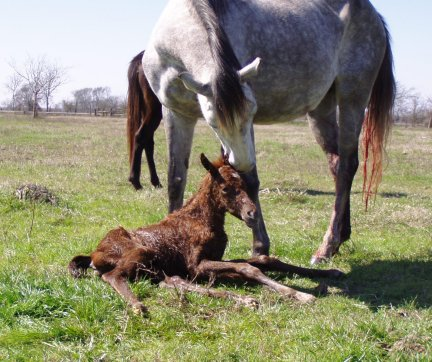 TB filly, -newborn, Out of Frosty Secretary