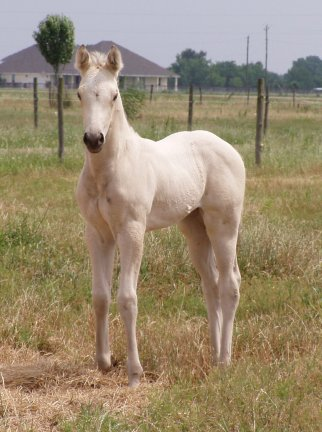 QH filly, -2 weeks old, Out of Johnnie Holland