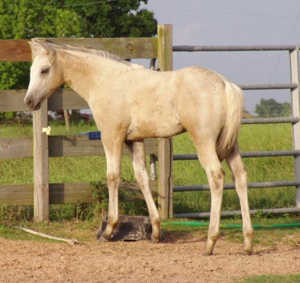 QH filly, -10 weeks old, Out of Johnnie Holland