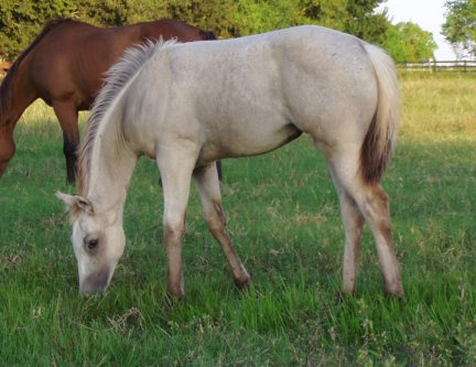 QH filly, -14 weeks old, Out of Johnnie Holland