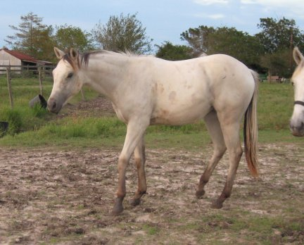 QH filly, -yearling, Out of Johnnie Holland