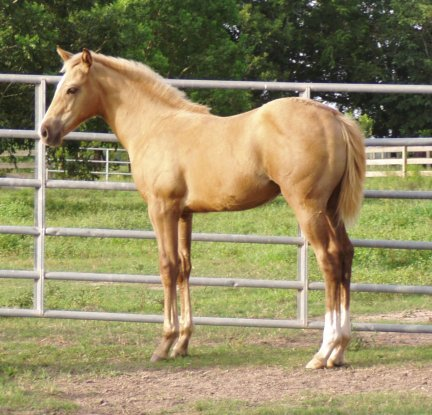 QH filly, -3 months, Out of Cream Brulee