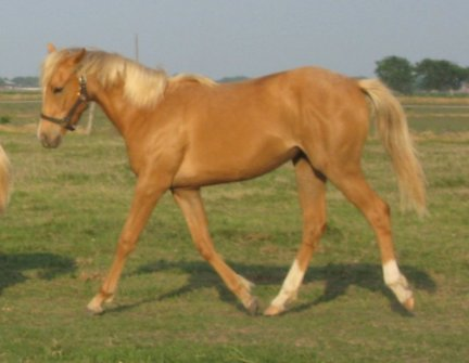 QH filly, Golden Secretary, out of Cream Brulee