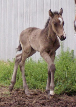 QH filly, -3 days, Out of Tiara Run