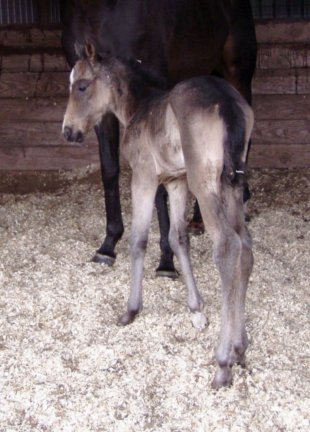 QH filly, -1 day, Out of Tiara Run