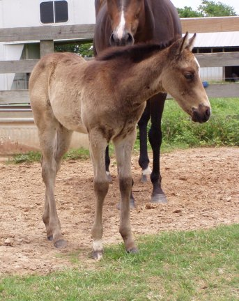 QH filly, -3 weeks, Out of Tiara Run
