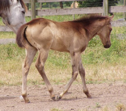QH filly, -5 weeks, Out of Tiara Run