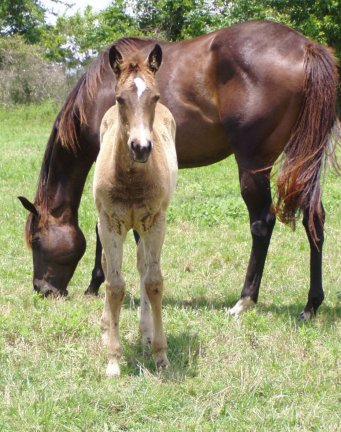 QH filly, -8 weeks, Out of Tiara Run
