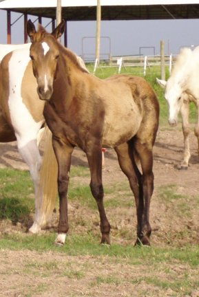 QH filly, -11 weeks, Out of Tiara Run