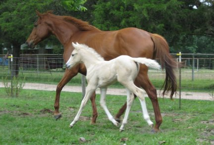 QH Filly, - Out of Flying Jewel TB