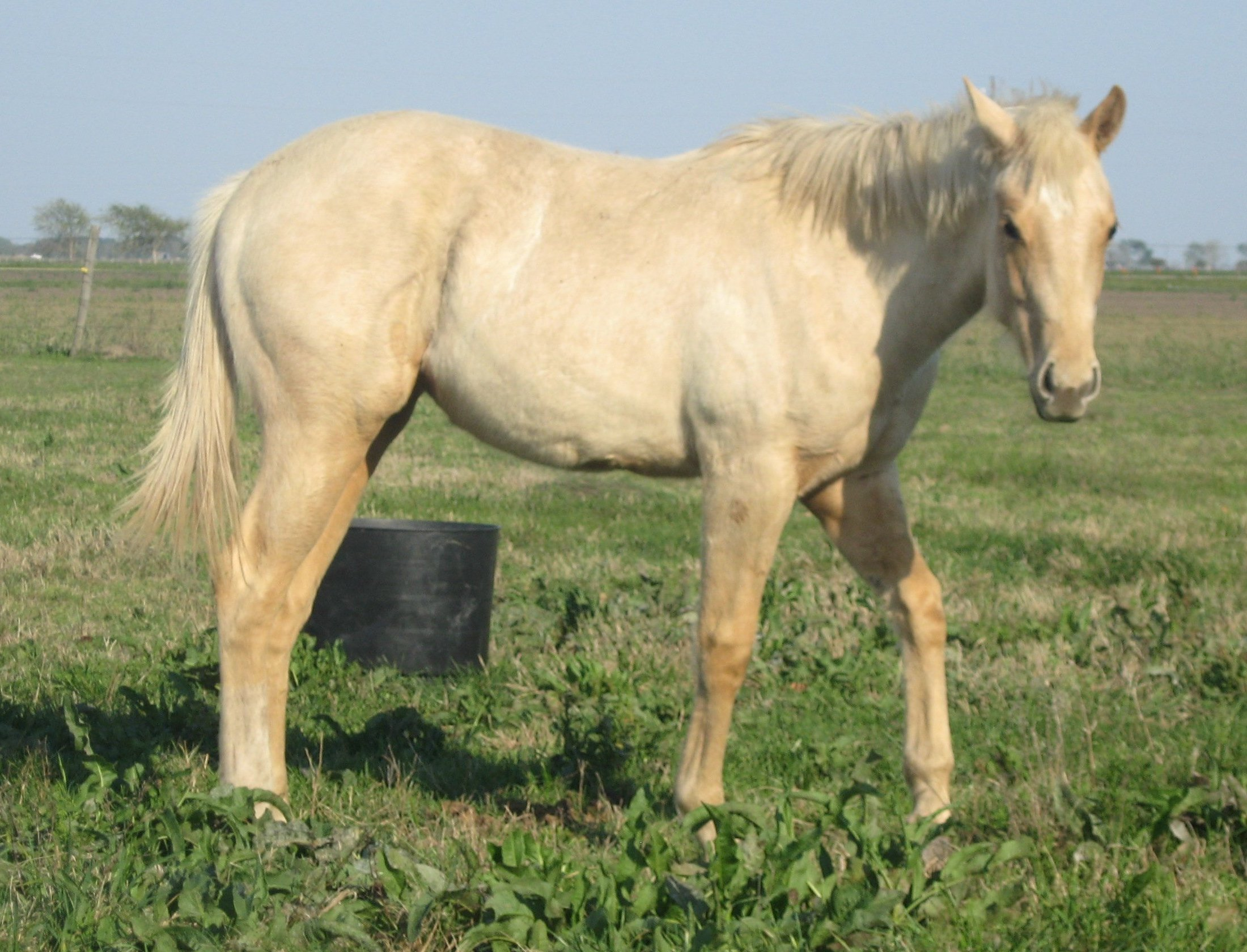 QH Filly, -12 months old, Out of Stunning Sensation