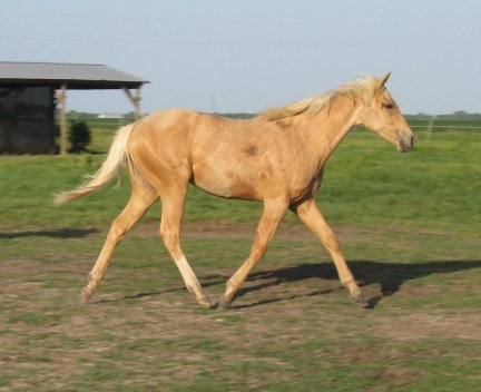 QH Filly, -yearling, Out of Stunning Sensation