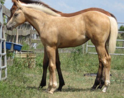QH filly, - 4 months, Out of Stunning Sensation