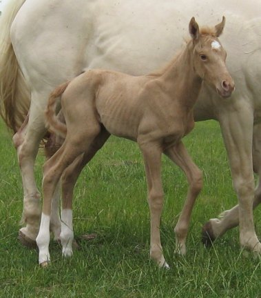QH filly, -newborn, Out of Cream Brulee