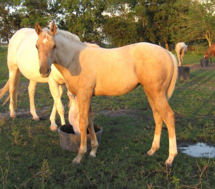 QH filly, -4 months, Out of Cream Brulee