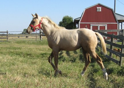 QH filly, -6 months, Out of Cream Brulee