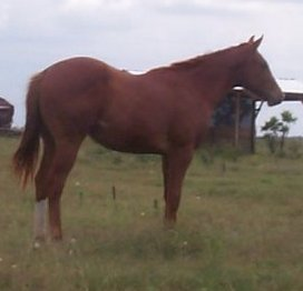QH colt, Blazing Prairie Fire-1 year, out of Thanx Mr Bee