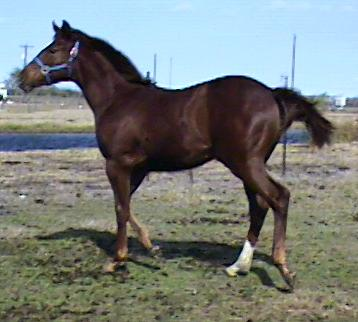 QH Filly, Ms Country Girl I Am-6 1/2 months, out of Ms Safety I Am