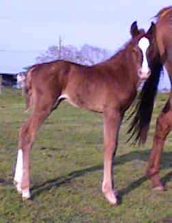QH colt, Blazing Prairie Fire-1wk, out of Thanx Mr Bee