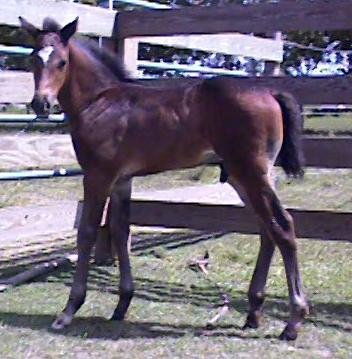 1/2 TB Pinto colt, Country Knight - weanling