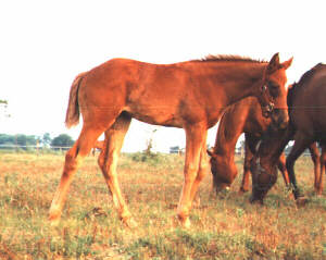 QH filly, Joys Country Rose-7wks, out of Rammers Rose