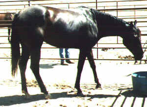 TB mare, Country Rhymer-4yo