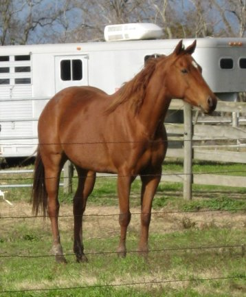 QH mare, 7yo, Out of Rammers Rose